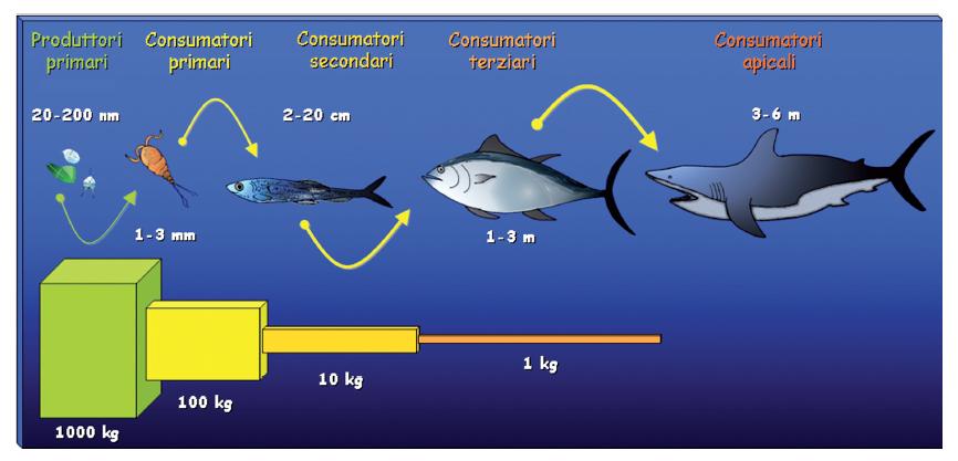 Il trasferimento di energia e materia lungo la catena trofica marina (Illustrazione di Franco Gambale)
