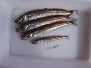 Esemplari di Antarctic silverfish (Foto di Marino Vacchi)