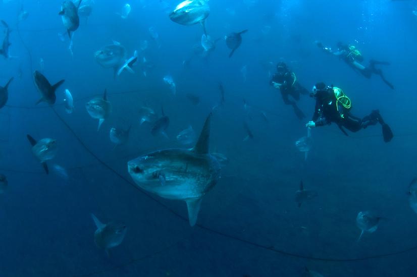 Una fortunata immersione in tonnara con decine di grandi pesci luna (Foto di A. Penco)