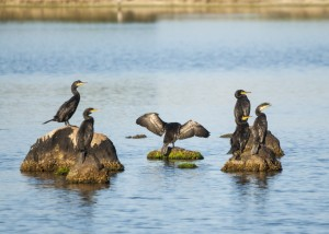 Un gruppo di cormorani si asciugano al sole (Foto di M. Faimali).