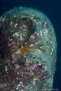 Particolare del viso della statua ricoperta dagli organismi marini (biofouling)