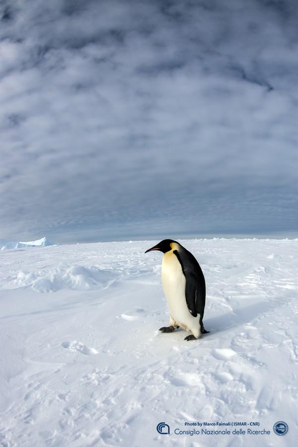 Un esemplare adulto di pinguino imperatore