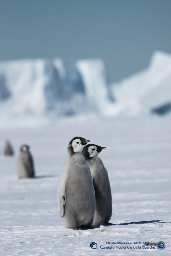 Esemplari giovanili di pinguino imperatore