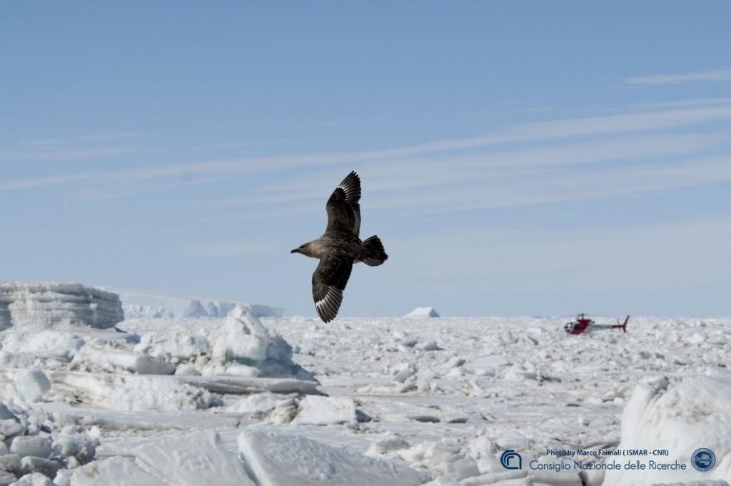 Il volo di uno Skua il tipico volatile del continente antartico.