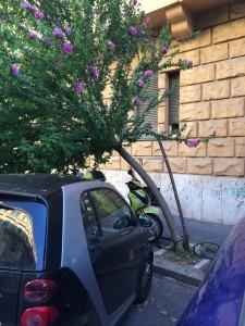 Hibiscus in via Ruffini