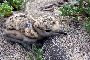 Coccia di Morto pullo di Fratino II° nido 15 05 07-001