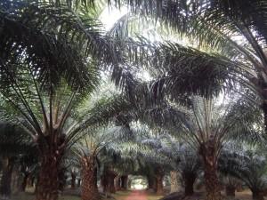 Palme da olio, onnipresenti sull'isola di Bugala.