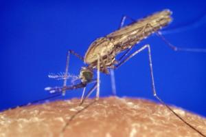Anopheles_gambiae_mosquito_feeding_1354_p_lores
